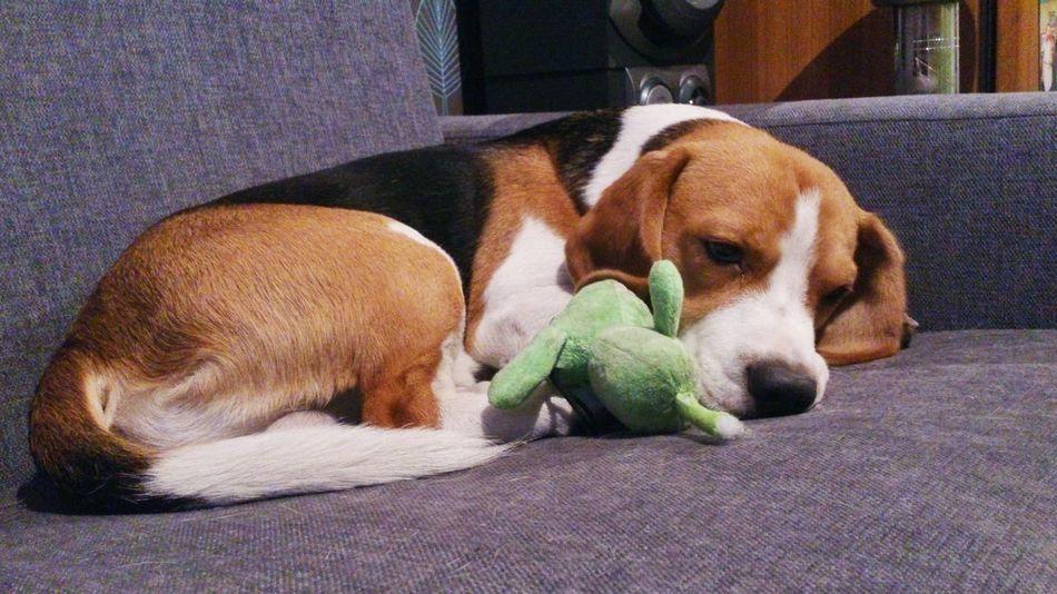 Beagle Sadness