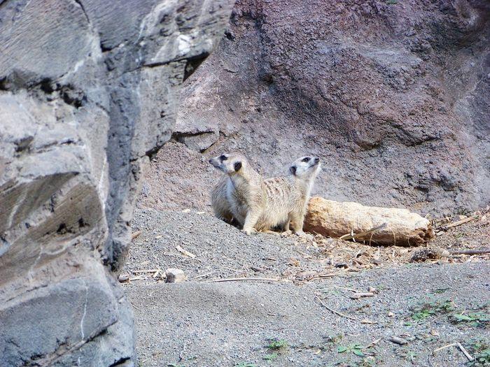 Sheep in a rock