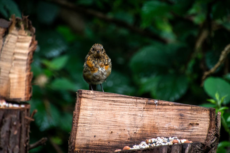 Close-up of fledgling robin perching on wooden post