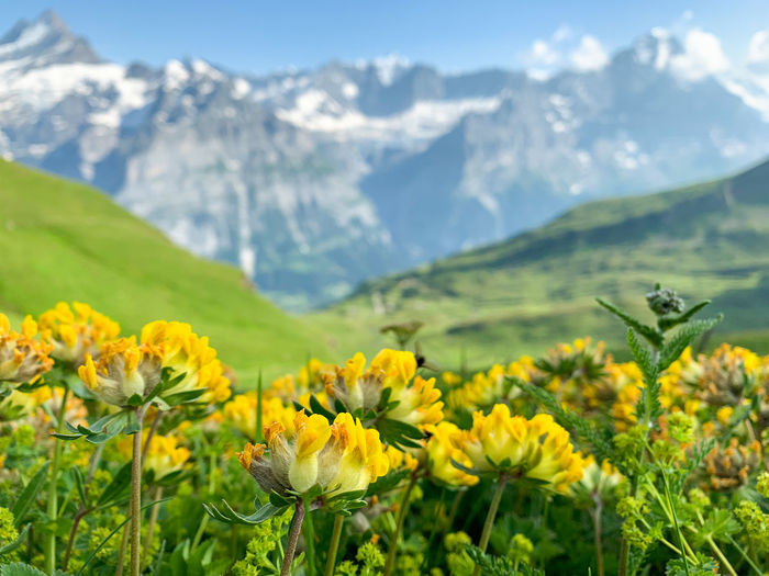 Yellow flowering plants on field against mountains