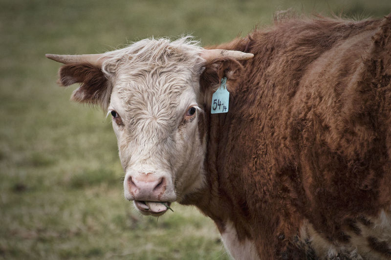 Close-up of cow looking at camera