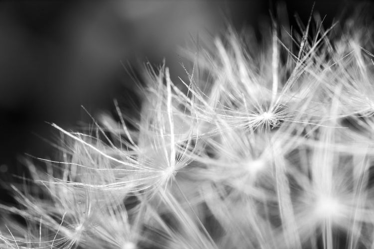 Dandelion... Detail Nature Photography Monochrome Black And White Blackandwhite Macro Nature Macro_flower Macro Dandelion Close-up Fragility Vulnerability  Freshness Flower Flowering Plant Beauty In Nature Softness Plant Selective Focus No People Nature Dandelion Seed Seed Flower Head Tranquility Focus On Foreground