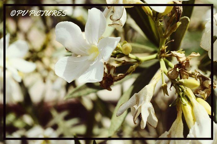 Picspv Flower Bikaner Nikon D5100  Nikonphotography Lilly