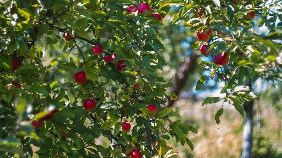 Apples Apple Apple Tree Apple - Fruit Tree Nature Green Color Beauty In Nature Freshness Fragility Red Leaf Growth Indian Summer Late Summer Late Summer Colours Autumn Autumn Fruits Poland Polish Nature Świętokrzyskie Outdoors Sony Nex3n Helios 44-2 Nex 3n