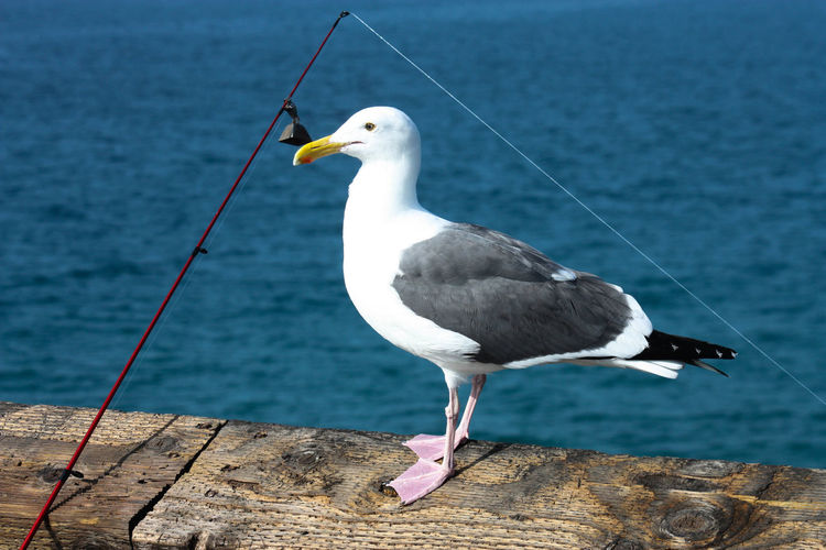 Animal Themes Beauty In Nature Bird Blue Close-up Day Focus On Foreground Nature No People Outdoors Perching Sea Bird Seagull Wildlife
