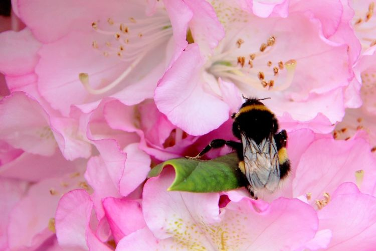 Flower Pink Color Petal Insect Fragility Nature Beauty In Nature Flower Head Plant One Animal No People Outdoors Growth Close-up Animal Themes Bee Bumblebee Day 💟 Happy Bees Flowers Flower Collection Flowers, Nature And Beauty Flower Photography Flowers_collection