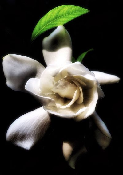Gardenia Black Background White Color Freshness No People Close-up Flower Flower Head Day Blanco Walking Around Textures And Surfaces Softness Taking Photos Daydreaming Petal Tranquility Autumn