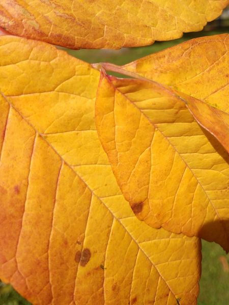 Yellow leaves close-up No People Close-up Leaves Yellow Yellow Leaves Autumn Leaves Buffalo, NY EyeEmNewHere Yellow Beauty Vibrant Color Autumn Leaf Leaf Vein Plant Life Detail Natural Pattern