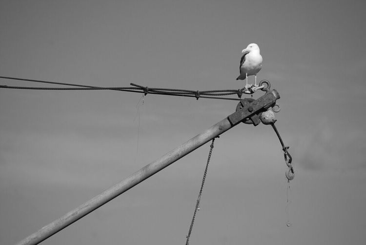 Low Angle View Of Seagull Perching On Rope Against Sky