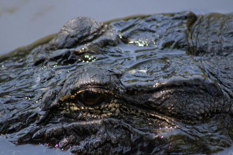 Close-up of crocodile in sea
