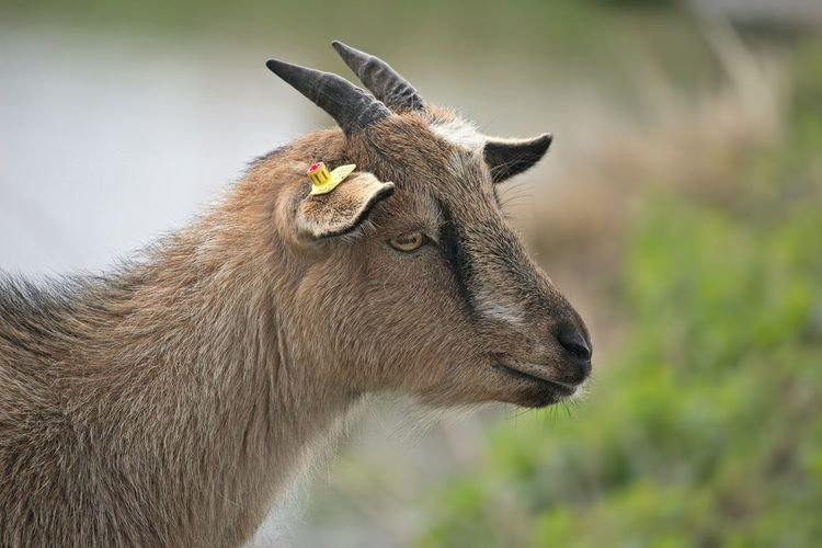 Animal Love Goat Natural Beauty Nature Photography Animal Animal Body Part Animal Head  Animal Photography Animal Themes Animals Brown Hair Close-up Cute Domestic Animals Focus On Foreground Looking Looking Away Lovely Mammal Nature Nature Lover One Animal Portrait Profile View Side View