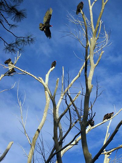 A committee of Turkey vultures. Animal Themes Animal Wildlife Animals In The Wild Bare Tree Beauty In Nature Bird Birds Branch Day Flying Low Angle View Mid-air Nature No People Outdoors Sky Spread Wings Tree Vulture Vultures In A Tree Wildlife Bird Of Prey