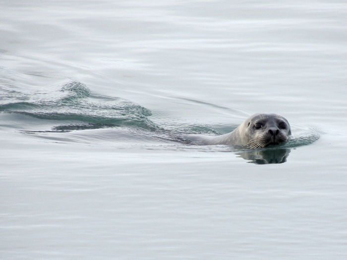 South coast . Iceland Animal Animal Themes Nature Nature Photography Seal Swimming Water Wildlife