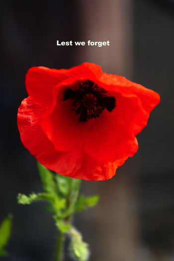 Poppies  Flowering Plant Flower Freshness Close-up Fragility Plant Beauty In Nature Flower Head Red Vulnerability  Petal Inflorescence No People Growth Focus On Foreground Nature Text Western Script Poppy Pollen British Legion Remembrance Sunday 11th Day Of The 11th Month