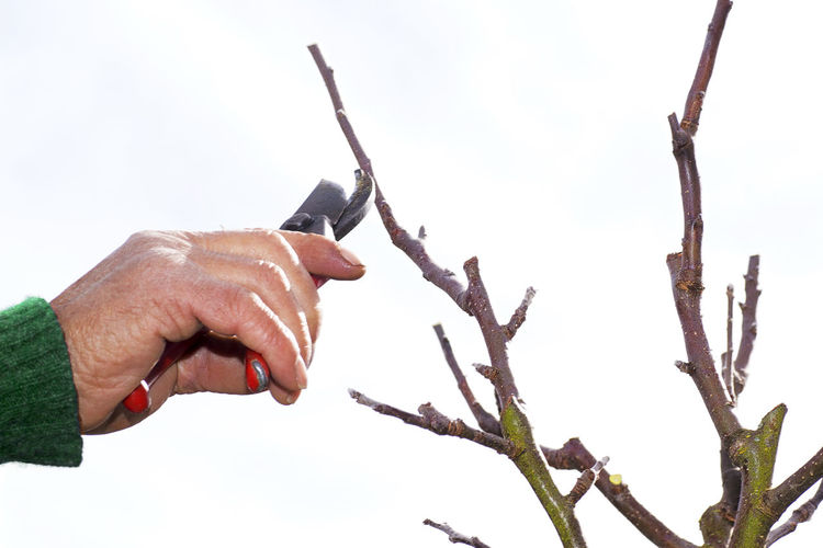 Close-up of hand cutting plant with pruning shears against white background