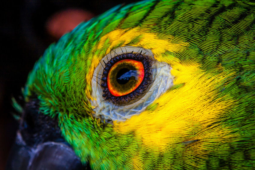 Brazil Jalapão State Park Macro Beauty Macro Photography Parque Estadual Do Jalapão Animal Animal Body Part Animal Eye Beauty In Nature Bird Brasil Close-up Eye Focus On Foreground Jalapão Looking Macro Macro_collection Multi Colored No People One Animal Parrot Tocantins Tocantins Brasil Tocantins Brazil The Traveler - 2018 EyeEm Awards