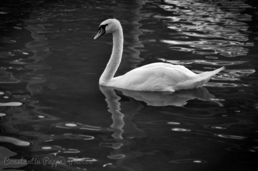Swan Bw_collection Blackandwhite Animals Birds Cygne