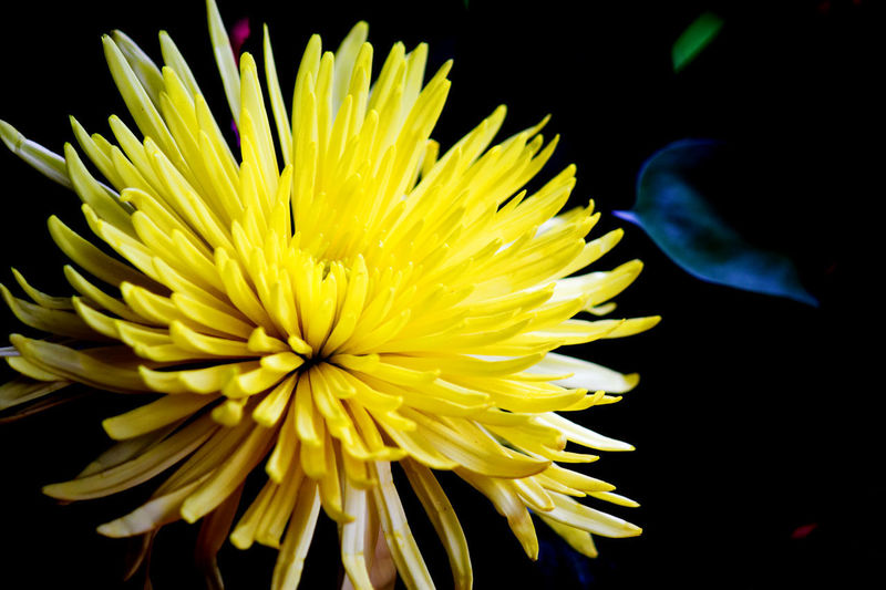 Close-up of a yellow flower and black background Flower Flowering Plant Vulnerability  Yellow Fragility Petal Freshness Flower Head Beauty In Nature Inflorescence Plant Close-up Growth Nature Studio Shot No People Black Background Indoors  Chrysanthemum Focus On Foreground