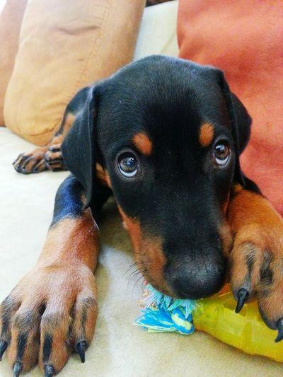Doberman  Baby Doberman Dog Baby Dog Cute Dog  Doggie Dog With Toy