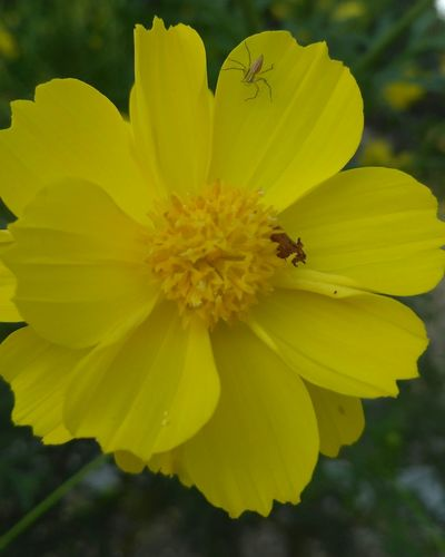 enjoy.. Spider INDONESIA Central Java Blora Flower Head Flower Yellow Multi Colored Summer Beauty Uncultivated Petal Insect Stamen Flowering Plant Wildflower In Bloom Plant Life Blossom