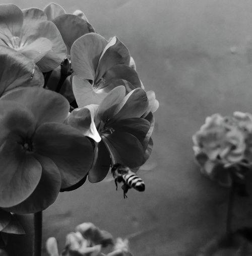 Let it bee. VSCO Blackandwhite Monochrome Lima Perú Flower Head Flower Petal Close-up Plant Blooming Plant Life In Bloom Blossom Botany
