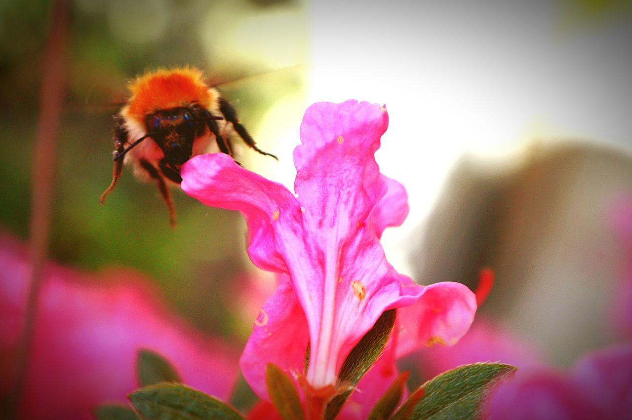 flower, insect, one animal, petal, animal themes, fragility, animals in the wild, nature, bee, pink color, beauty in nature, day, flower head, no people, growth, outdoors, close-up, plant, freshness, pollination, bumblebee, animal wildlife, buzzing, blooming