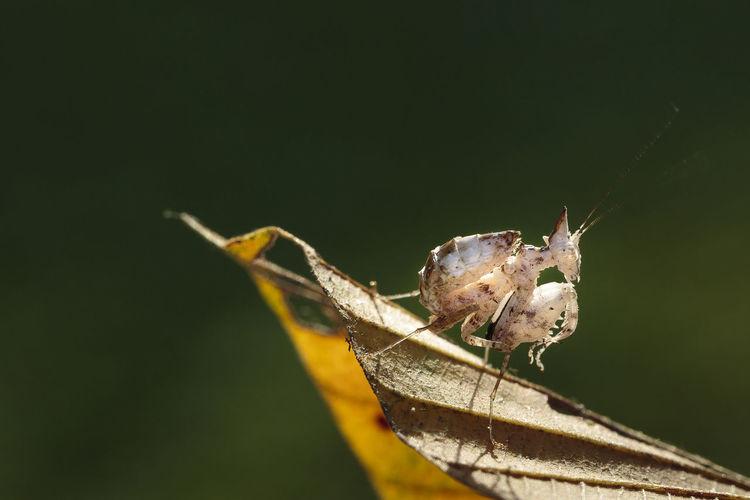 Close-up of praying mantis on leaf