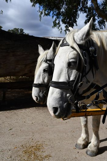 Harnessed Team Two Horses Transportation Animal Themes Animal Domestic Animals Mammal Domestic Pets Livestock Day Working Animal Horse