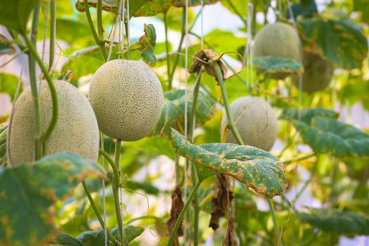 Fresh musk melon on tree.