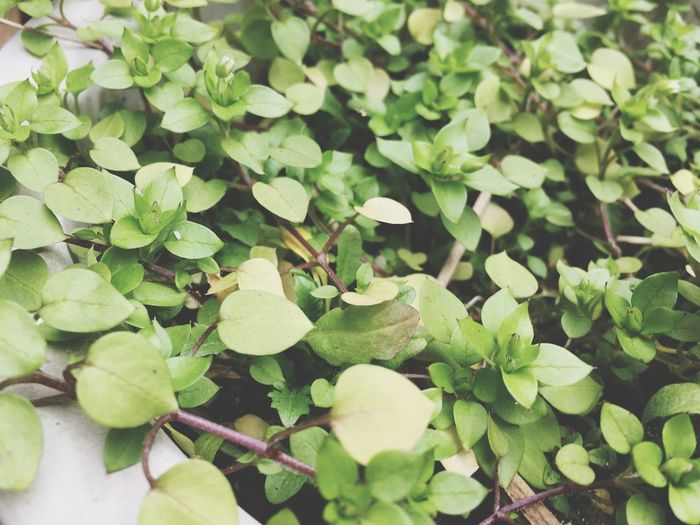 Growth Leaf Green Color Plant Nature Clover No People Beauty In Nature Day Outdoors Close-up Freshness