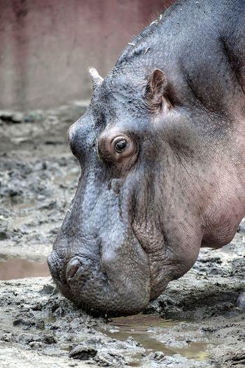 Hippopotamus Hippo Animal Themes Animal Photography Animals In The Wild Portrait Close-up Animal Eye Animal Nose Animal Head  EyeEmNewHere