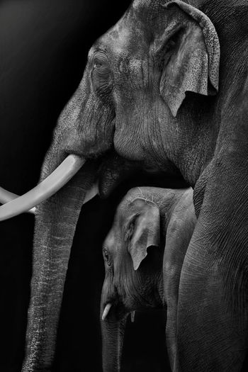 Close-up of elephants against black background