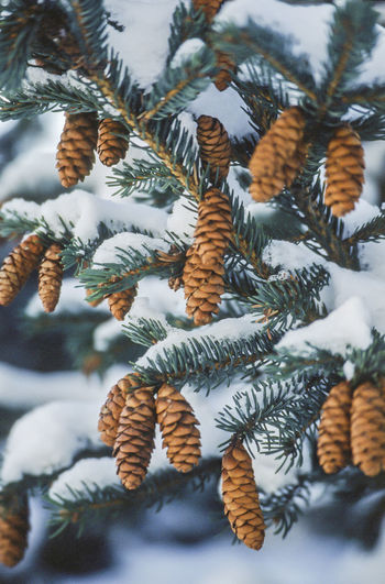 Close-up of pine cones on tree during winter