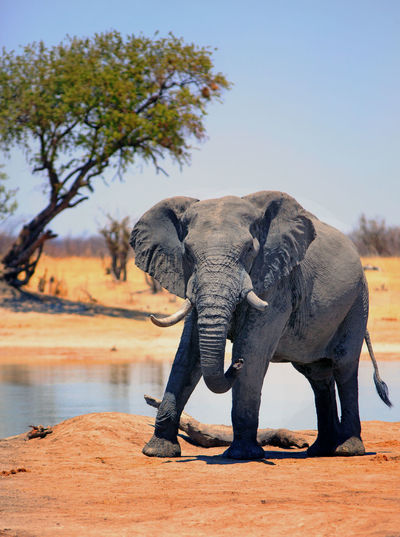 Elephant Animal Animal Themes Mammal Animals In The Wild Animal Wildlife One Animal Nature No People Animal Body Part African Elephant Animal Trunk Outdoors Herbivorous Clear Sky Sky Big Five Portrait Looking Into Camera Hwange National Park Wildlife & Nature Animals In The Wild