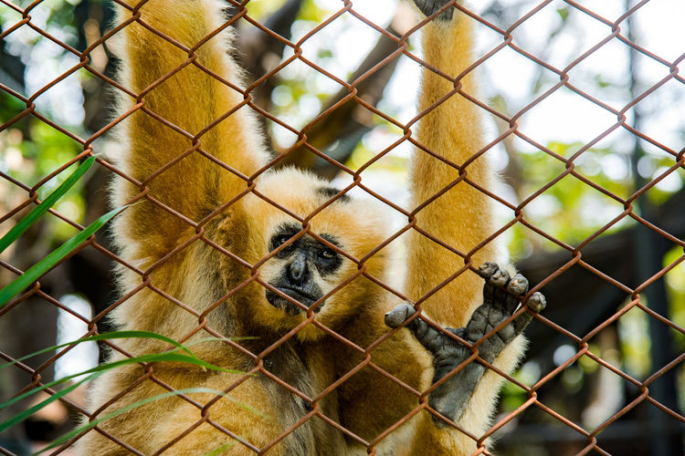 Gibbons in the cage In the zoo Be Sad Dusit Zoo Gibbons Monkey Imprisoned Animal Animal Themes Animal Wildlife Animals In The Wild Dusit Zoo Fence Imprison Mammal Monkey One Animal Outdoors Zoo