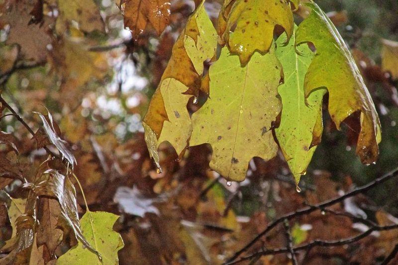 Autumn Oak Leaves Streamzoofamily Lake Sacajawea Park Longview, Washington After the Rain Feel The Journey Raindrops