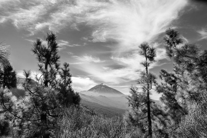 Pine Tree Landscape Mountain Nature Forest Cloud - Sky Outdoors Cold Temperature Blackandwhite Monochrome Canary Islands Canarias Beauty In Nature Black And White Black & White Blancinegre Noiretblanc Bwbeauty Monochrome Photography Noir Blancoynegro Noirlovers Bwoftheday B&w Street Photography Tacking Photos The Great Outdoors - 2017 EyeEm Awards