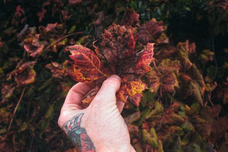 Cropped image of tattooed hand holding autumn leaves
