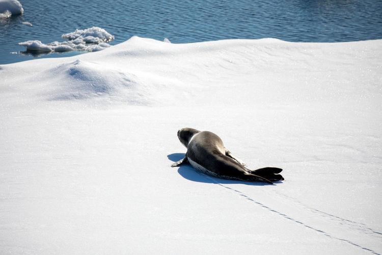Seal relaxing on frozen sea