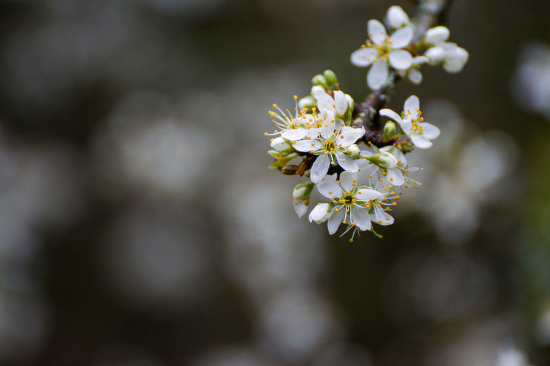 Ahrtal Beauty In Nature Blooming Blossom Blühen Blüten Close-up Eifel Germany Eifelblicke Flower Flower Head Focus On Foreground Fragility Freshness Frühling Growth In Bloom Nature Petal Selective Focus Spring Flowers Springtime Tree White White Color First Eyeem Photo