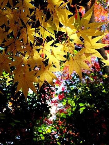 Autumn leaves fall. Yellow maple is very beautiful this year.