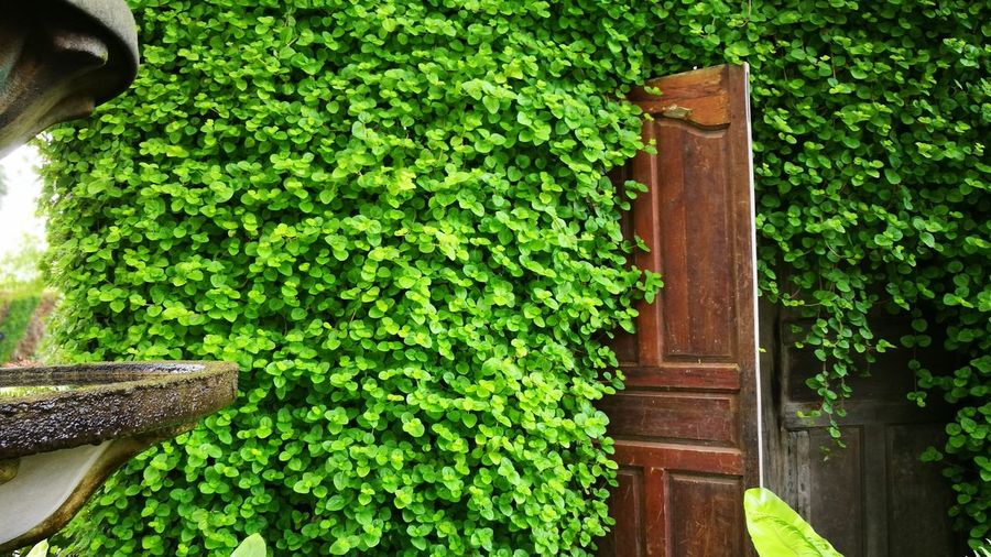 Green Color Outdoors Day Growth Plant Tree Ivy No People Nature Door