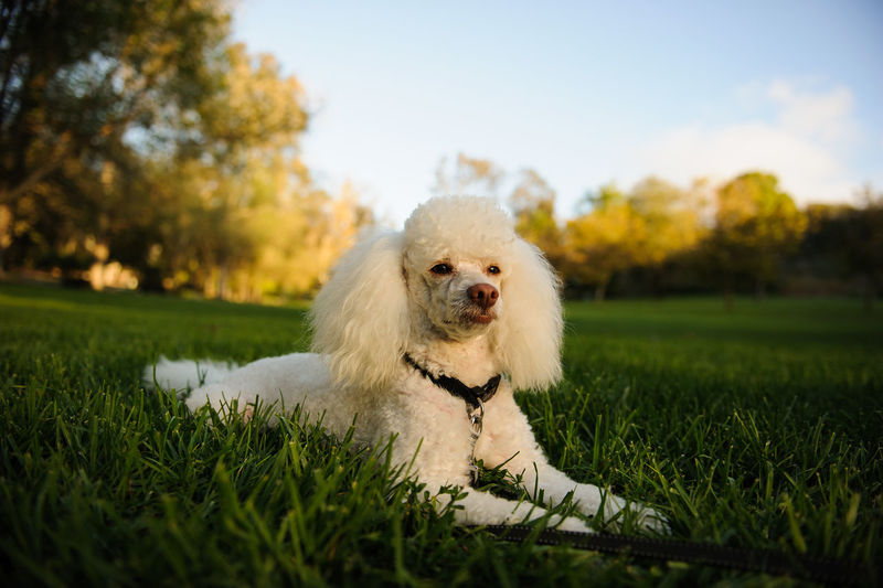 Dog Relaxing On Grassland