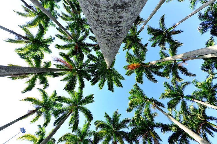 Tree Plant Sky Palm Tree Growth Tree Trunk Trunk Low Angle View Tropical Climate No People Nature Beauty In Nature Tranquility Day Outdoors Branch Clear Sky Green Color Leaf Tall - High Directly Below Coconut Palm Tree Coniferous Tree Pine Tree Tropical Tree Lookingup EyeEm Best Shots Eye4photography  Getting Inspired My Best Photo