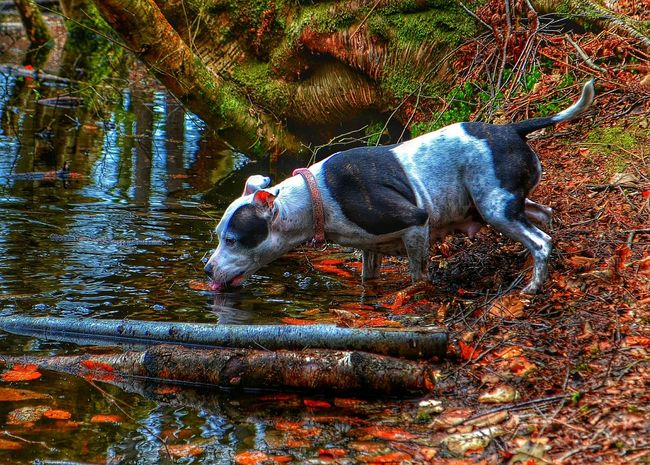Dog Walking Water Forest Day Out Dog Having A Drink The Great Outdoors Pet Photography  Pet Autumn Colors