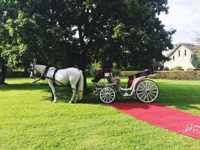 Eine weiße Hochzeitskutsche Horse Domestic Animals Grass Green Color Two Animals Outdoors Wedding Hochzeit Schloss Aufhausen