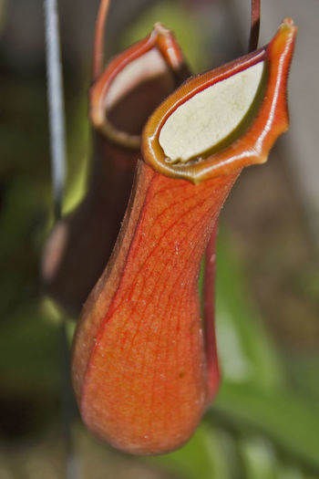 Kannenpflanze, Nepenthes, Nepenthaceae Carnivorous Plant Nature Nature Photography Pitcher Plants Plant Plants Plants 🌱 Carnivore Carnivorous Close-up Day Flora Floral Freshness Indoors  Insect Trap Kannenpflanze Nature_collection Nepenthaceae Nepenthes  No People Pitcher Pitcher Plant Pitcherplant Plants And Flowers