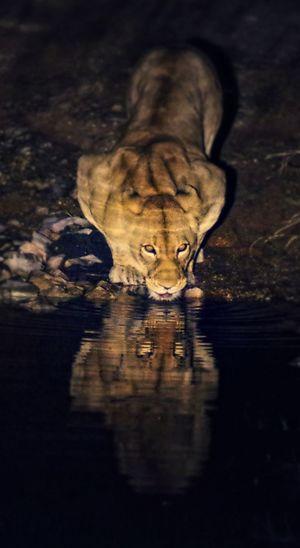 EyeEmNewHere Lion Wildlife & Nature Wildlife Photography Africa Africa Wildlife Animal Wildlife Animals In The Wild Big Cat Feline Nature Night Reflection Water