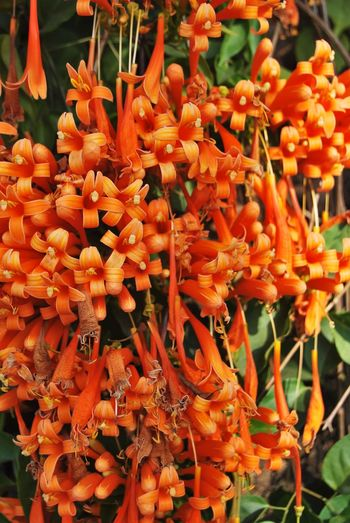 Abundance Beauty In Nature Close-up Flame Vines Flower Freshness Full Frame Growth Incredible India India Large Group Of Objects Orange Color