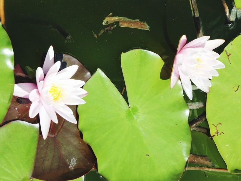 Flower Head Flower Water Lotus Water Lily Leaf Water Lily Floating On Water Petal Pond Close-up